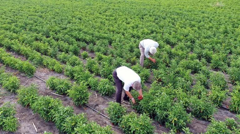 Büyükşehir'in tarımsal üretime desteği meyvelerini vermeye başladı