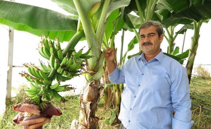 Akdeniz'in incisi Kahramanmaraş'ta muz üretimi başladı