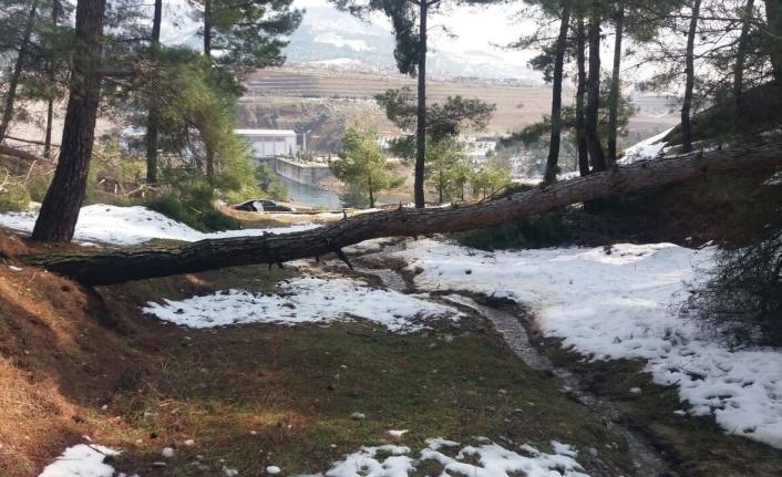 Şiddetli rüzgâr ve beraberindeki kar çam ağaçlarını yerinden söktü