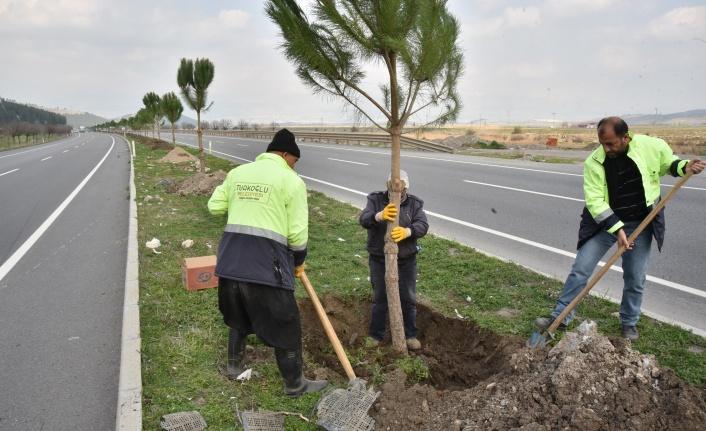 Türkoğlu Belediyesi Kahramanmaraş-Türkoğlu-Nurdağı arası orta refüjlere 5000 adet Fıstık çamı dikimini gerçekleştiriyor