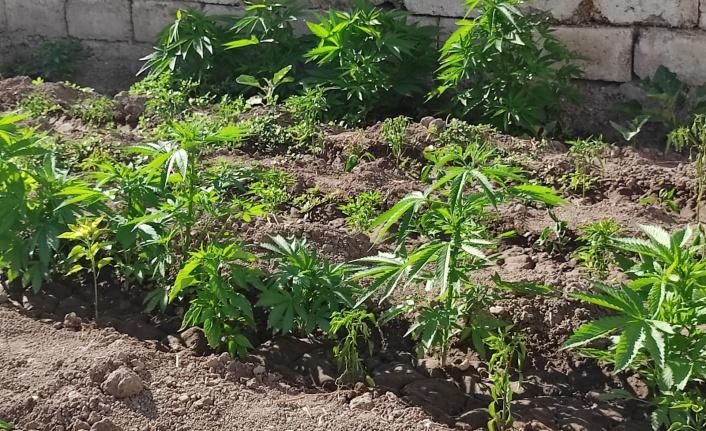 Evinin bahçesinde kenevir yetiştirdi