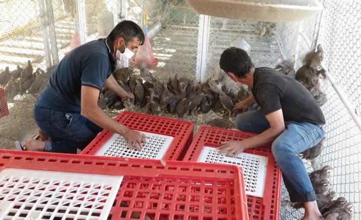Kahramanmaraş'ta üretilen kınalı keklikler yeni yuvaları için yola çıktı