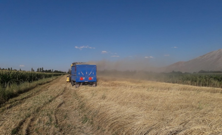 10 bin yıllık ata mirası siyez buğdayının hasadı yapıldı