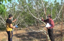 Kahramanmaraş'ta dünyanın en geç yaprak açan cevizi üretildi