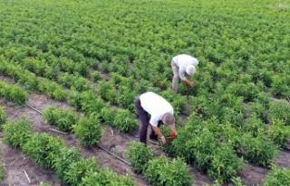 Büyükşehir'in tarımsal üretime desteği meyvelerini...
