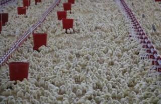 Kahramanmaraş'ta 1 milyon tavuk üretimi yapıyor