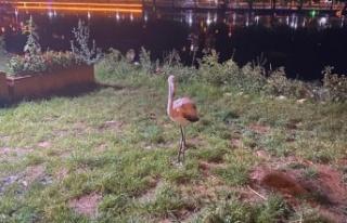 Yolunu şaşıran flamingoya belediye sahip çıktı
