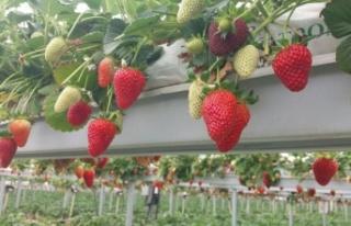 Kahramanmaraş'ta topraksız tarım ilk meyvesini...