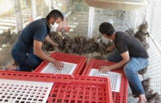 Kahramanmaraş'ta üretilen kınalı keklikler yeni...