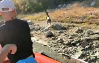Yaban keçisini baraj gölünde boğulmaktan dalgıç...