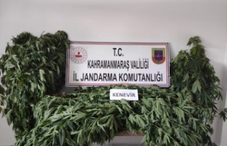 Kahramanmaraş'ta 122 kenevir bitkisi ele geçirildi
