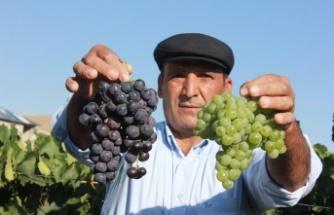 Ege'ye has üzüm çeşidi artık Afşin'de yetişiyor!